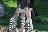 Group of ring-tailed lemurs (Lemur catta) on a log