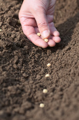 Spring sowing of seeds into the soil. Female hand with seeds