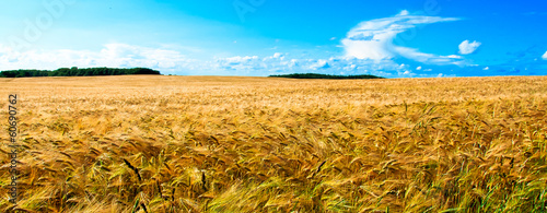 Banner type huge golden wheat field with blue sky