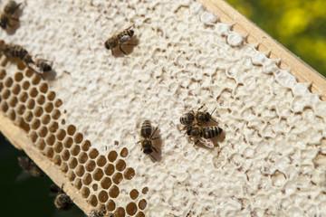 Bienen auf einer Honigwabe mit teilweise verdeckelten Honigzelle