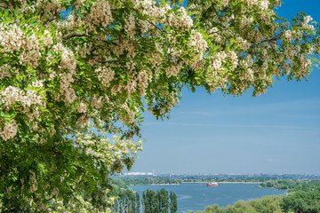 Blooming locust over the river