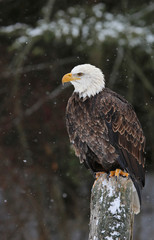 Sitting Bald Eagle