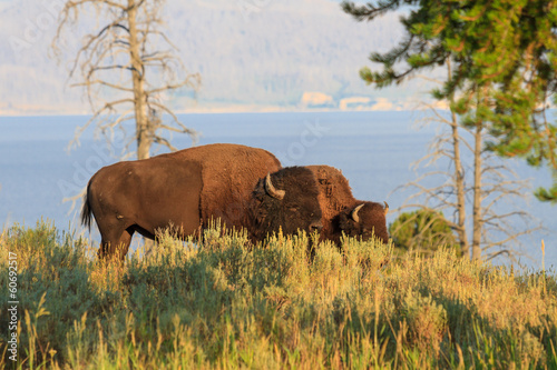 Buffalos / Bisons in high grass in Yellowstone National Park, Wy