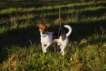 Jack russell in meadow