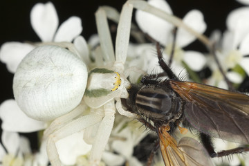 White crab spider, Misumena vatia feeding on fly