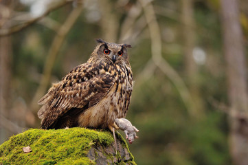 Eurasian Eagle Owl holding mouse as prey