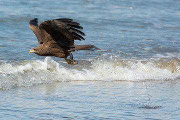 Black Kite (Milvus migrans) scooping up a fish head