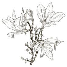 dessin à la main des fleurs de magnolia printemps