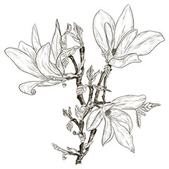 Hand drawing spring magnolia blossoms