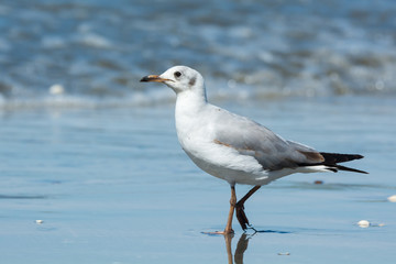 Young Grey-Headed Gull