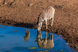 Zebra Calf Water Mirror Reflections Wildlife