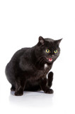 Meowing black cat with yellow eyes isolated on white poster