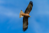 Bird Predator Kite Eagle Flying