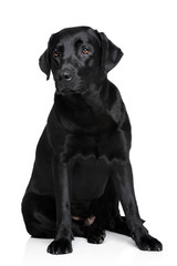 Black Labrador Retriver dog