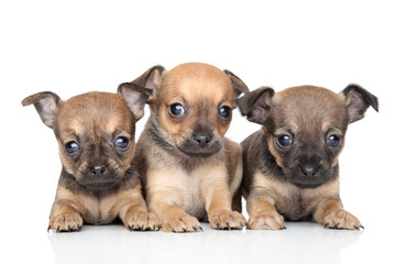 Cute Toy Terrier puppies on white background