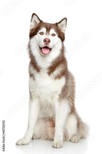 Tuinposter Wolf Siberian Husky studio portrait