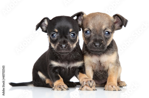 Toy Terrier puppies