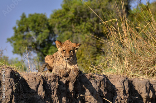 Lion relaxing on a cliff
