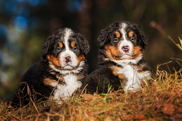 Two bernese mountain puppies sitting on the hill