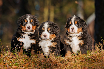 Three bernese mountain puppies sitting on the hill in the wood