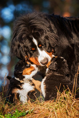 Portrait of bernese mountain dog with puppies