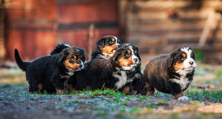 Litter of bernese mountain puppies running in the yard