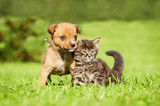 Little puppy with  tabby kitten sitting on the grass - 60705129
