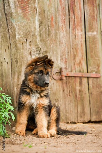 German shepherd puppy sitting in the yard