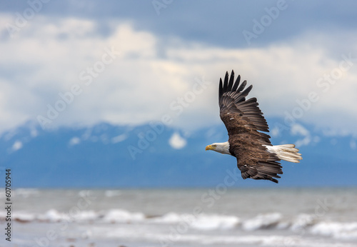 Staande foto Eagle American Bald Eagle at Alaska