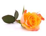 Fototapety Orange rose