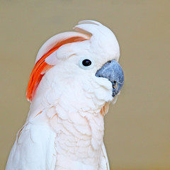 Portrait of a Salmon-crested Cockatoo on uniform background