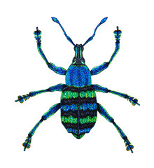 Blue Weevil