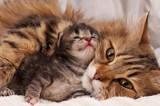 Fototapety Siberian cat