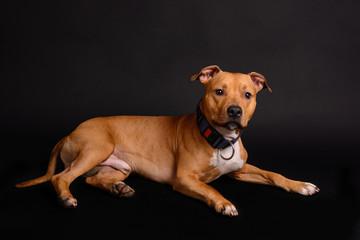 Pit Bull terrier on black background
