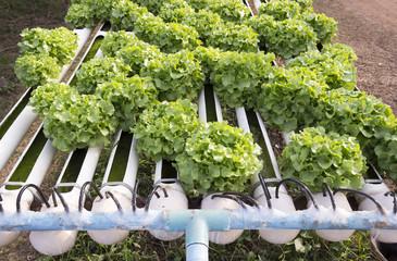 Organic hydroponic vegetable farm.