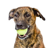 dog holding tennis ball. isolated on white background