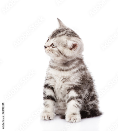 Scottish kitten looking away. isolated on white background