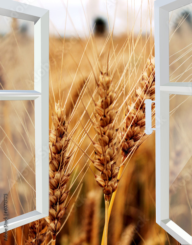 opened window to the field of wheat