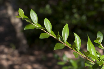 Leaves of Common Myrtle, Myrtus communis