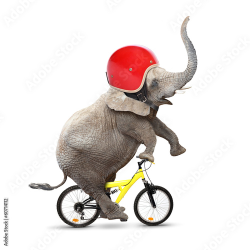 Funny elephant with protective helmet riding a bike.