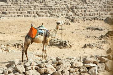 Dromader camel