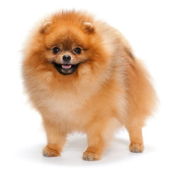 Pomeranian spitz on the white background