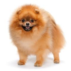 Pomeranian spitz on the white background