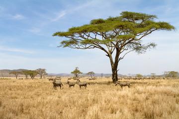Zebra grazing in Serengeti