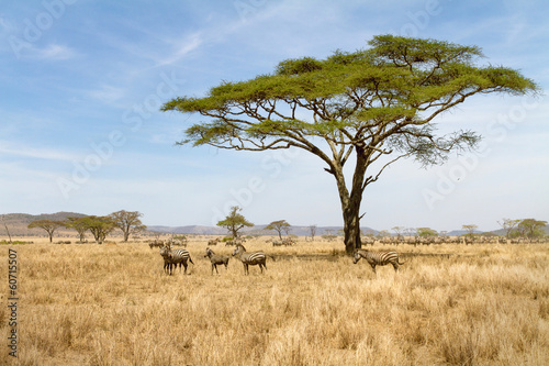 Foto op Canvas Zebra Zebra grazing in Serengeti