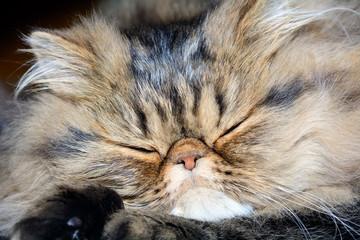 Gatto persiano brown tabby