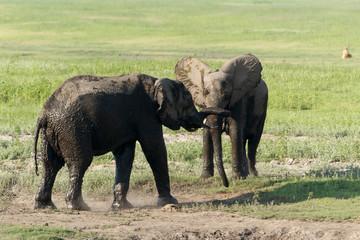 Zwei junge Elefanten kämpfen spielend