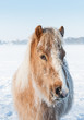 Portrait of a horse with hoarfrost in its manes