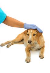 caring  vet comforting sick dog