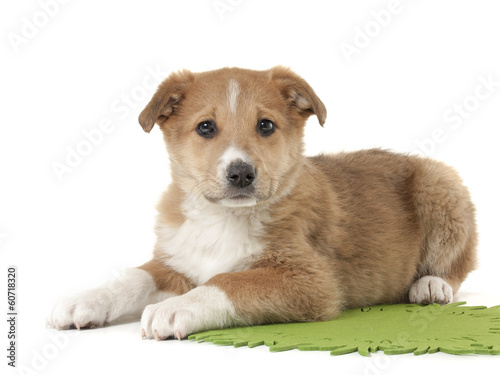 red puppy on a white background in studio